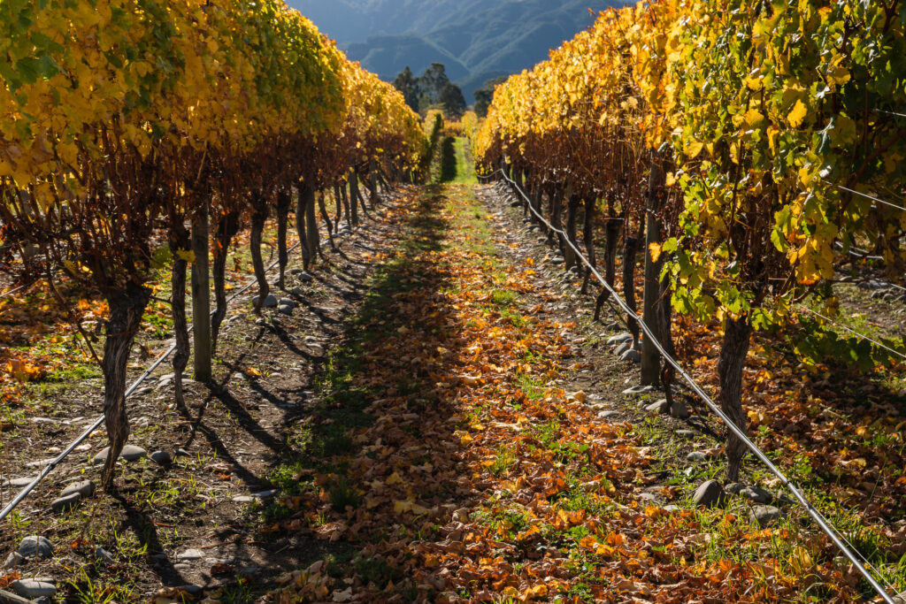Post-Harvest Vineyard Maintenance: Tips to Finish the Year Off Right