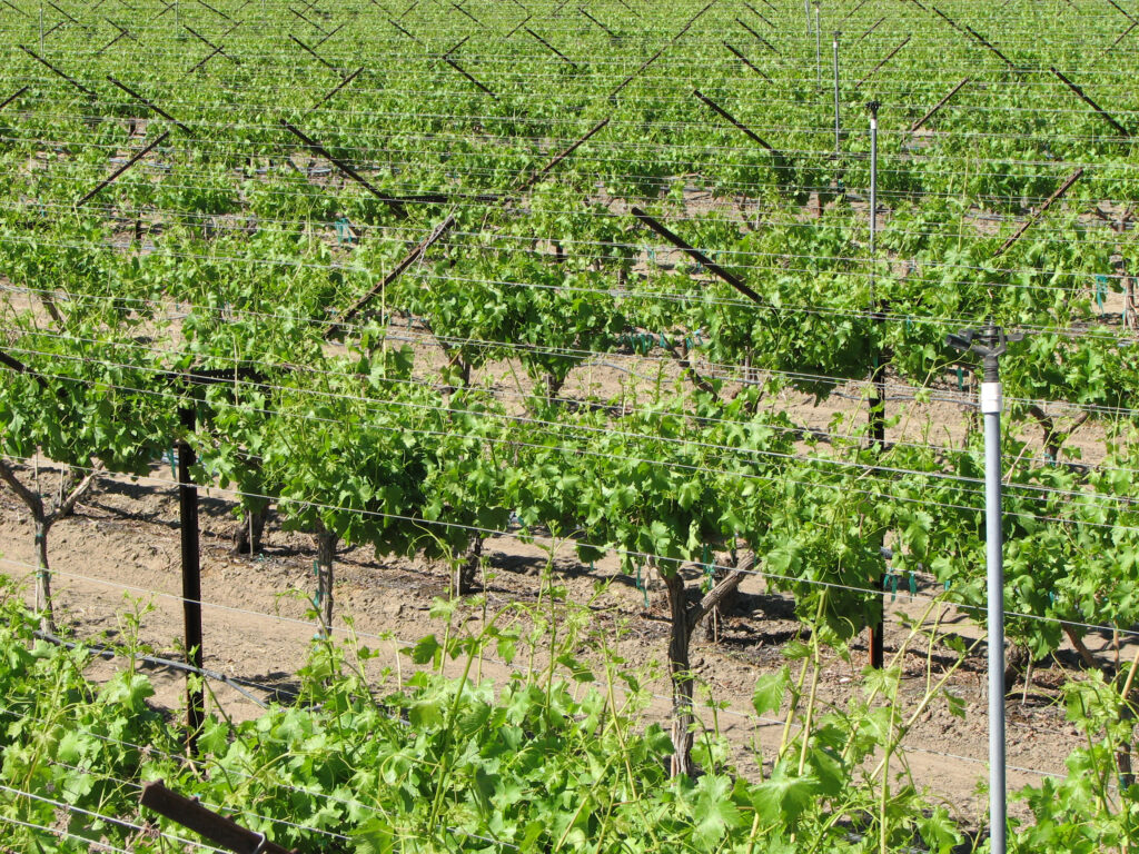 Grapevines and Water Stress, a Key to Quality