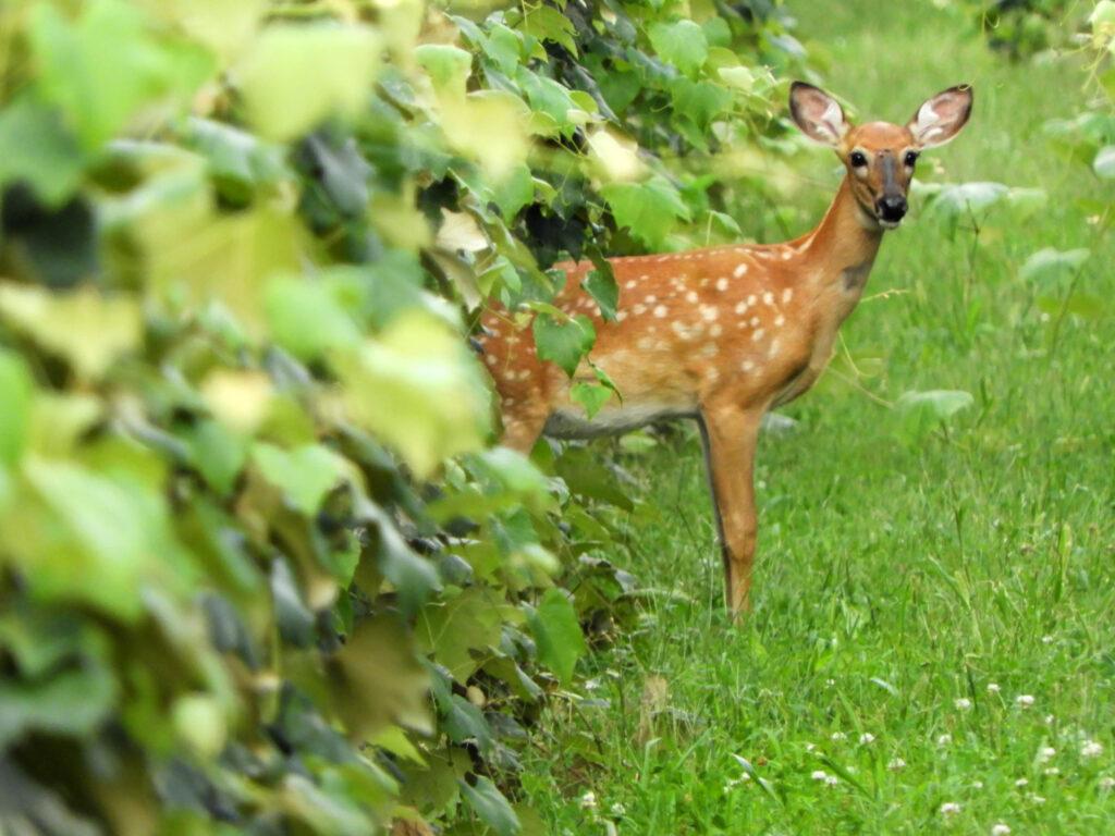 Keeping Your Vineyard Free of Wildlife Pests