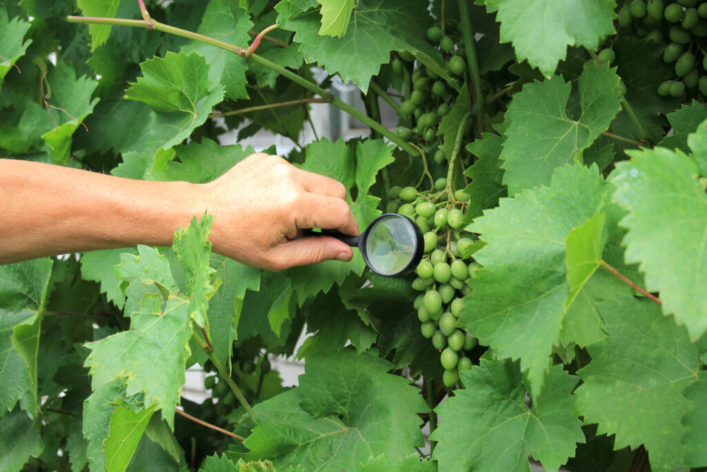 Grape Selections from the VitisGen and VitisGen2 Projects