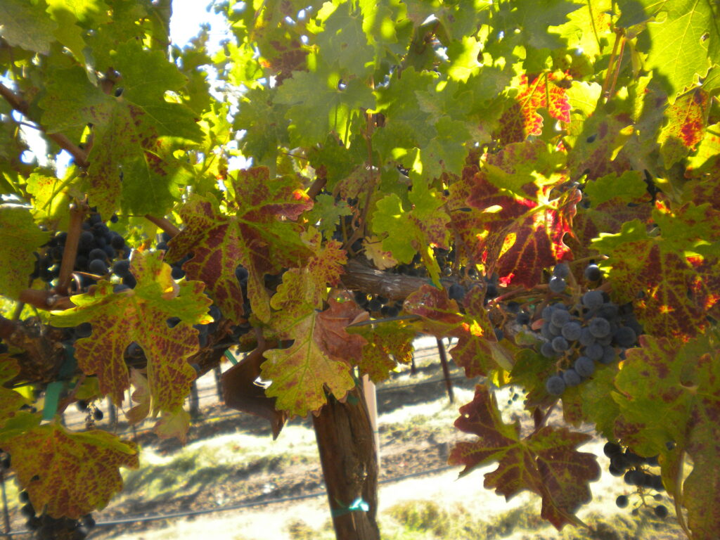 Update on Grapevine Leafroll and Red Blotch Viruses