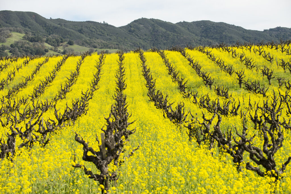 The Role of Cover Crops in the Vineyard